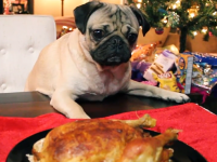 Doug the pug covers Mariah Carey's All I Want For Christmas