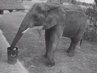 Elephant filmed picking up litter