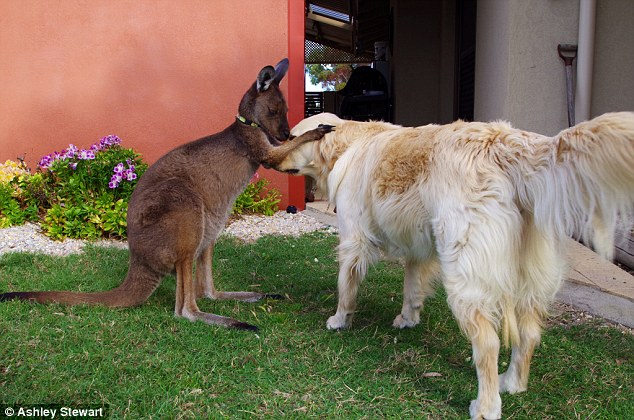 Kangaroo called Dusty has been adopted into a loving family and now thinks he