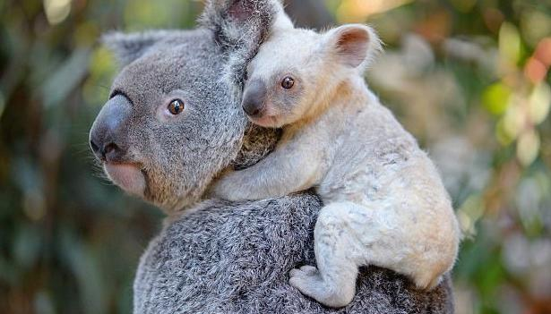 ANIMALS >Rare white koala born at zoo